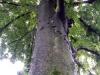 天祖神社のケヤキの大木