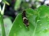 7ミカンの葉を食べるカラスアゲハの幼虫