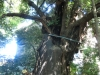 玉林寺裏庭の樹齢600年超のスダジイ大木。
