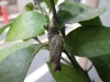 ⑩谷根千Bセンスさんぽ/初音小路商店街の入口で見つけたアゲハチョウの蛹