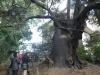 ⑦谷根千Bセンスさんぽ/樹齢600年と言われる玉林寺のスダジイ大木